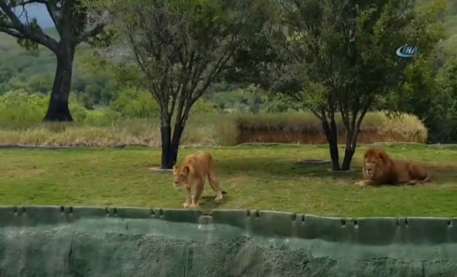 Safari Turunda Korku Dolu Dakikalar