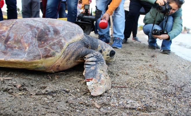 60 Yaşındaki Caretta Caretta Yeniden Denizde