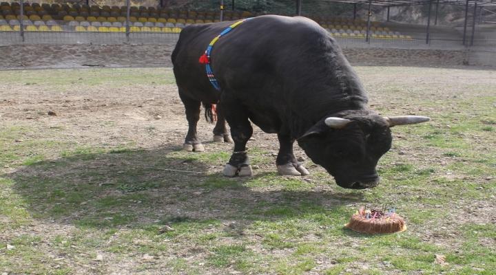 Şampiyon Boğasının Doğum Gününü Kutladı