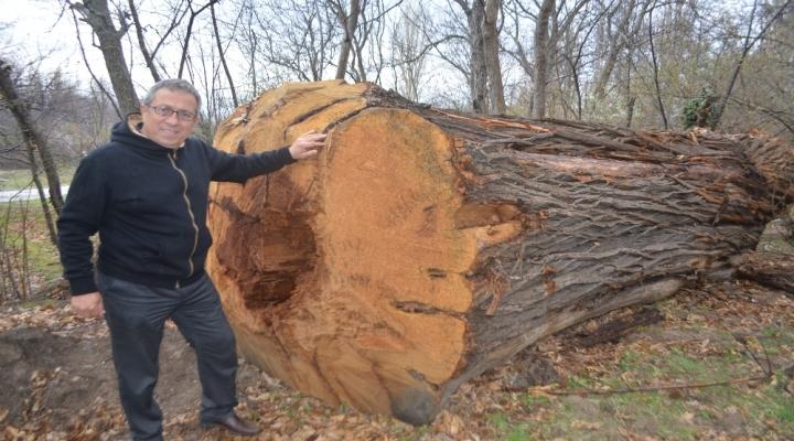Asırlık Çınar Ağaçlarına Kıydılar