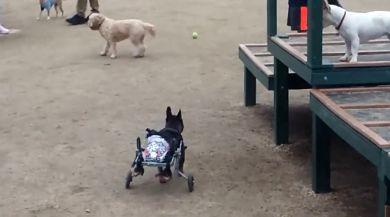 Felçli Köpeğe Tekerlekli Çözüm