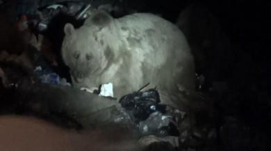 Uyku düzeni bozulan boz ayılar Sarıkamış'a indi