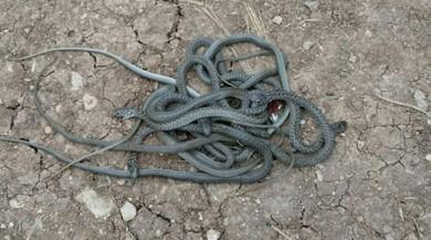 Korku ilçesi: Yılanlar bastı!